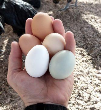 cuantos huevos pone una gallina al dia